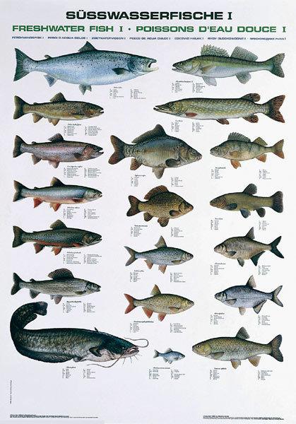 Tafel s wasserfische i kunst und werbung um den fisch for Heimische fische